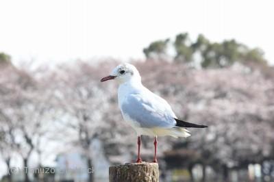 EOS_Kiss_sakura_05