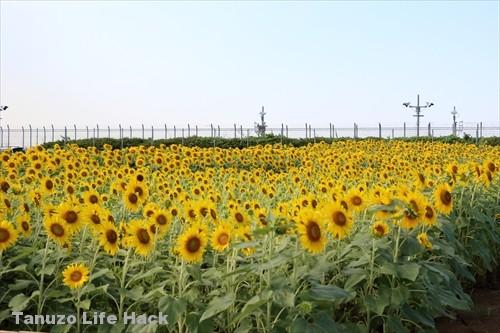 1000本ひまわり さくらの山 成田空港