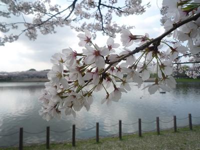 埼玉県立健康福祉村で花見: