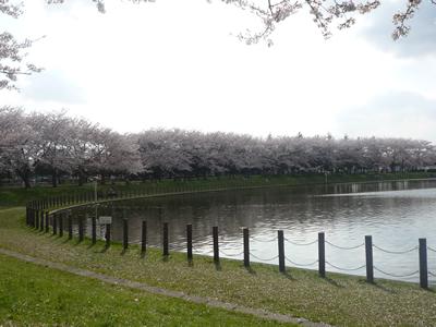 埼玉県立健康福祉村で花見:湖畔の桜がキレイです。